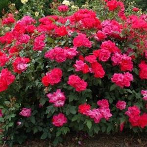 "St. Louis Landscaping Tips - Season Long Blooms by ""Deadheading"""