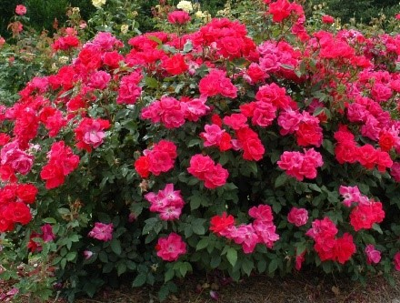 Landscaping Rose Bushes in St. Louis
